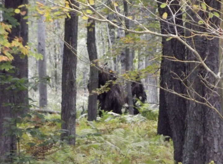 bigfoot-spotted-in-pennsylvania